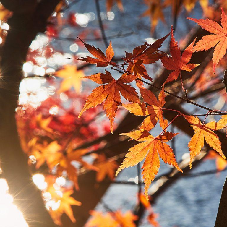 Anfang Dezember: Die einmaligen Farben des Herbstendes in Kawaguchiko.