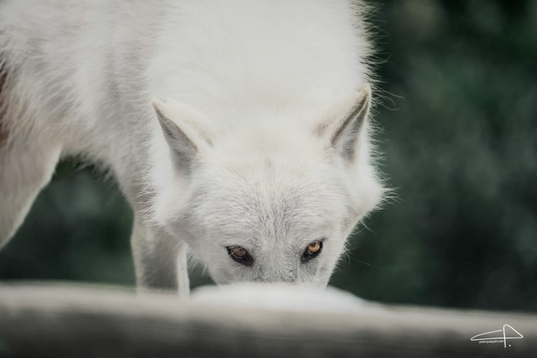 Sony 200 - 600 Review White Wolves look by Cedric Paquet