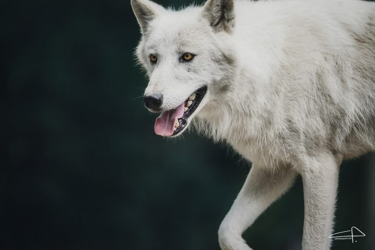 Sony 200 - 600 Review White Wolves animal photography by Cedric Paquet